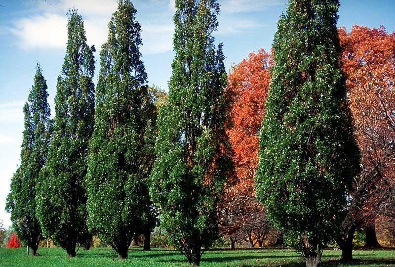 Pyramidal English Oak (Photo Courtesy: http://www.treevalley.ca)